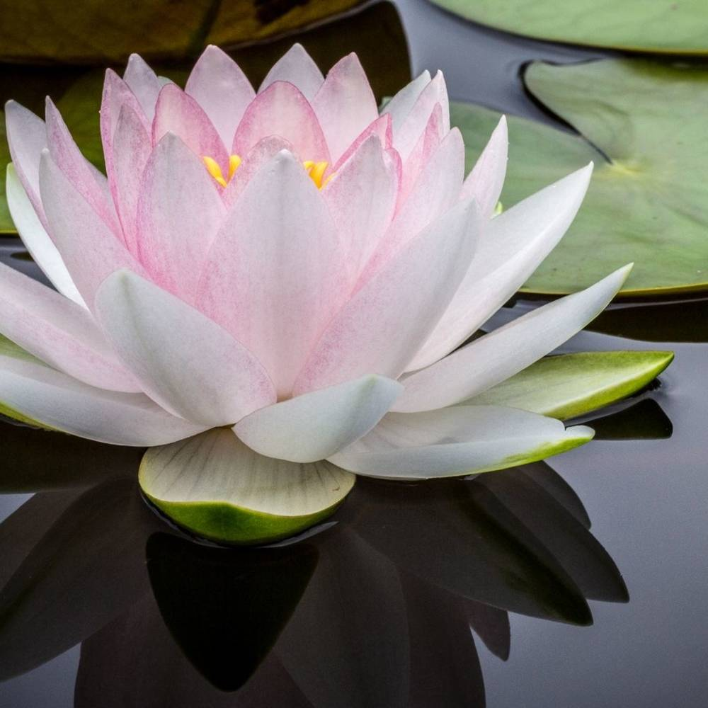 virmuze exhibit Lotus Blossom logo main
