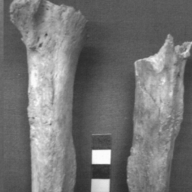 virmuze exhibit Long bones to determine age logo main